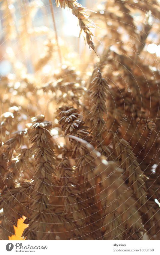 Erntedank Sommer Natur Pflanze Sonnenlicht Nutzpflanze Getreide Fruchtbarkeit trocken Wärme gelb gold Stimmung Tradition Umwelt Farbfoto Innenaufnahme