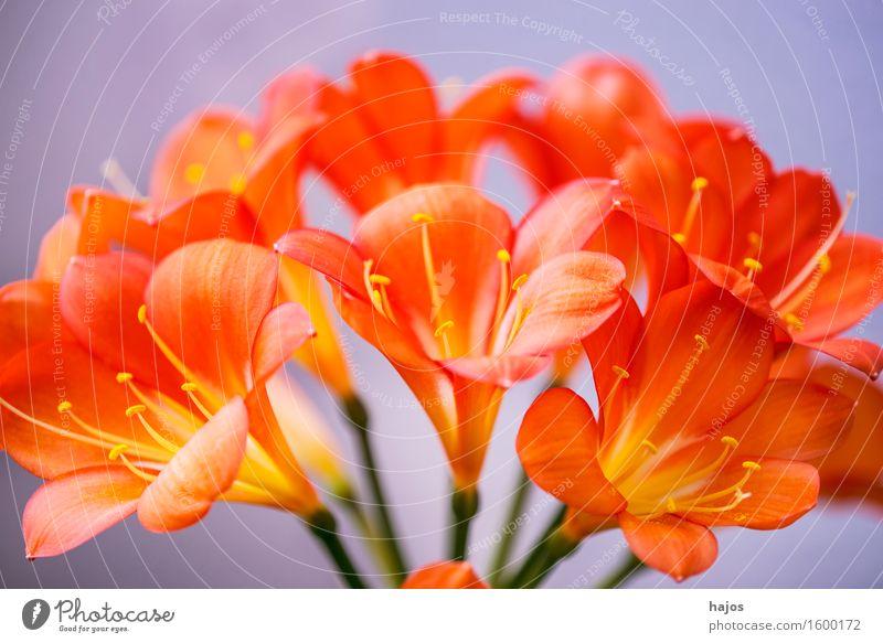 Clivie blüht Pflanze schön Blume Blüte außergewöhnlich elegant rund exotisch Kurve fein Zimmerpflanze Blütenkelch