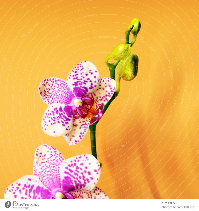 i love u 2 Blume Orchidee Pflanze Floristik Natur Blüte Jahreszeiten Gartenbau Glückwünsche Dekoration & Verzierung Ambiente Wellness
