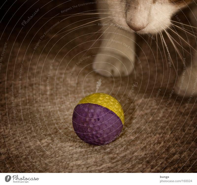 cupido ludendi Katze Tier Spielen Nase Ball Säugetier Pfote Teppich toben Ballsport Spieltrieb