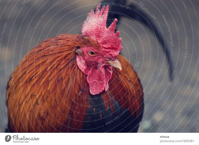 kein Huhn Vogel Tiergesicht Hahn Hahnenkamm Federvieh Federschmuck Blick stehen bedrohlich nah rot Tapferkeit authentisch Neugier Interesse Wut Einsamkeit