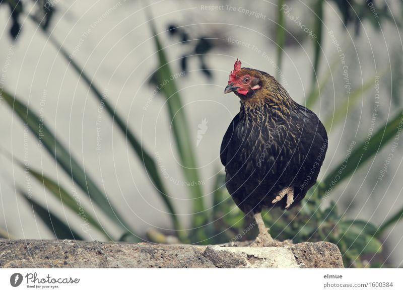 Adele will zum Zirkus Nutztier Vogel Haushuhn Suppenhuhn Doppelgänger Hahnekamm Fetthenne Blick stehen schön klein nah Neugier Lebensfreude Coolness Vertrauen