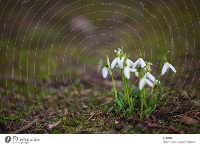 Hallo. weiß Pflanze Freude Wiese Blüte Gras Frühling Erde zart Duft Blumenstrauß Schneeglöckchen