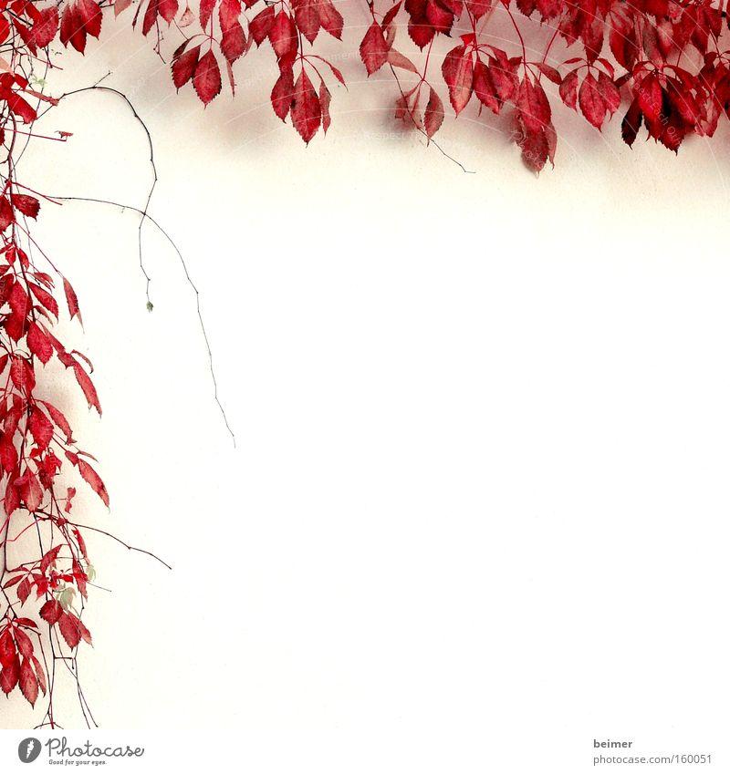Kletterpflanze II Natur Pflanze rot Blatt Herbst Wand Hintergrundbild Wachstum zart Rahmen Ranke umrandet Kletterpflanzen