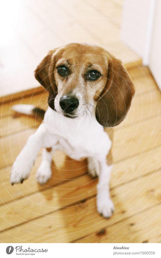 Jetzt krich ich aber was, oder? Wohnung Dielenboden Tier Haustier Hund Beagle 1 Holz Blick ästhetisch außergewöhnlich Coolness Freundlichkeit gut kuschlig