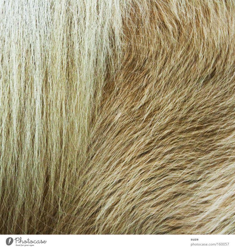 Dickes Fell Tier Wildtier Pferd 1 hell kuschlig wild weich Schutz Ponys Mähne Winterfell Säugetier geschniegelt beige Farbfoto Gedeckte Farben Innenaufnahme