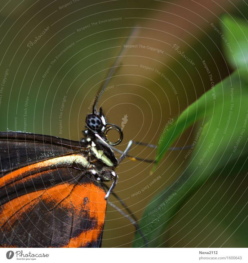 Leichtigkeit Umwelt Natur Tier Sommer Garten Park Wiese Feld Wald Schmetterling Tiergesicht Flügel niedlich orange leicht Facettenauge zerbrechlich