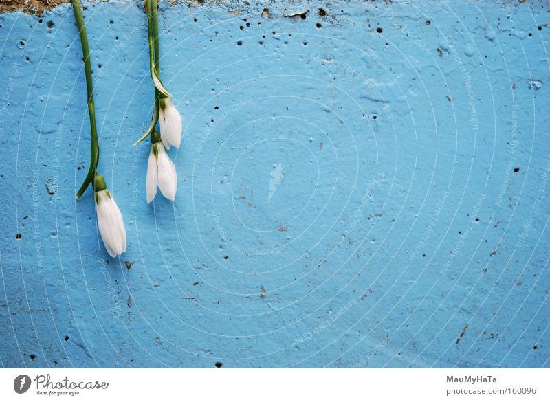 Bis auf die Knochen gekühlt Blume weiß blau grün Beton Wand Natur Winter Frühling Eis Wolken Stock invertiert verkehrt Leben Kunst Kunsthandwerk Poren
