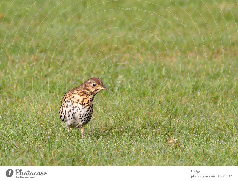 auf der Suche nach dem Frühstück... Umwelt Natur Landschaft Pflanze Tier Frühling Schönes Wetter Gras Garten Wildtier Vogel Drossel 1 Blick stehen authentisch