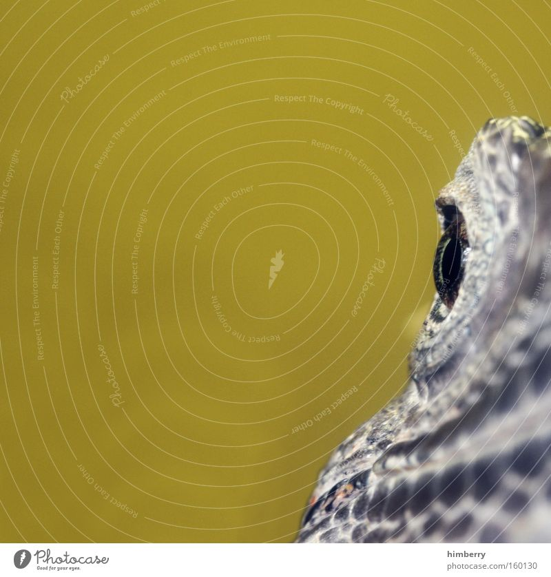 frontfocus Auge Tier Kopf Angst Zoo exotisch Echsen Panik Reptil gepanzert Terrarium Schuppen Leguane Amphibie Tarnfarbe