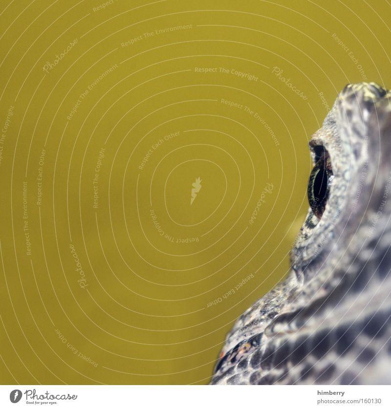 frontfocus Leguane Reptil Auge Blick Tier Kopf Schuppen gepanzert Tarnfarbe Terrarium Amphibie Zoo exotisch Angst Panik Makroaufnahme Nahaufnahme Momentaufnahme