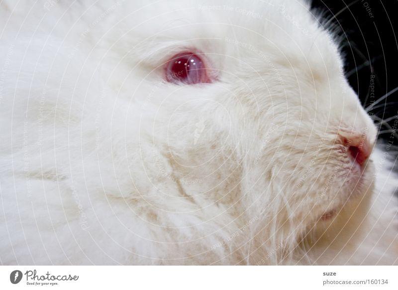 Dr. K. Nickel weiß rot Tier Auge verrückt Nase weich Fell Haustier Säugetier Hase & Kaninchen Zauberei u. Magie Tierzucht Braten Osterhase Angsthase