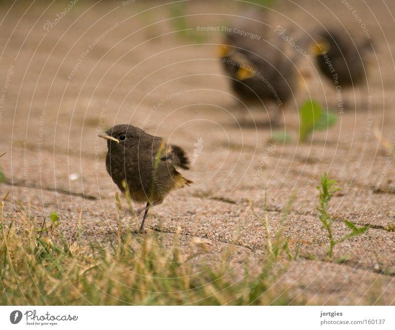 Die lieben Kleinen ruhig Erholung Vogel Kindheit Appetit & Hunger Stress Küken Außenseiter Tier Psychoterror Gartenrotschwanz