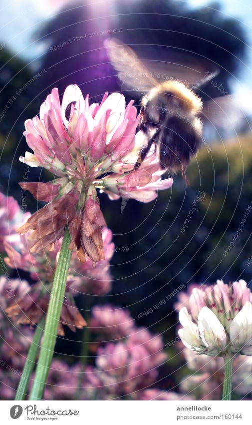 Kolibrie-Hummel Biene Insekt Schweben Klee Frühling Sommer Sonne Sonnenstrahlen Gegenlicht Wiese Blume Eile fleißig Arbeit & Erwerbstätigkeit Makroaufnahme