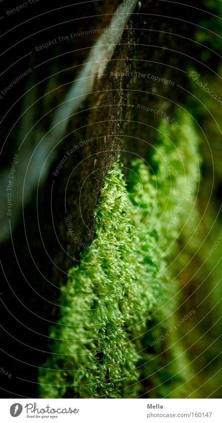 Immer an der Wand lang grün Mauer braun Wachstum Moos diagonal Fuge