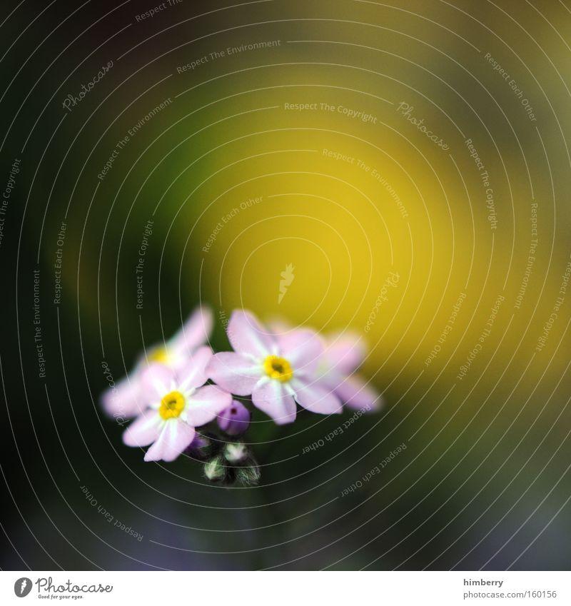 gelbsticht Natur Pflanze schön Blume Frühling Blüte Hintergrundbild frisch ästhetisch Floristik Gartenbau