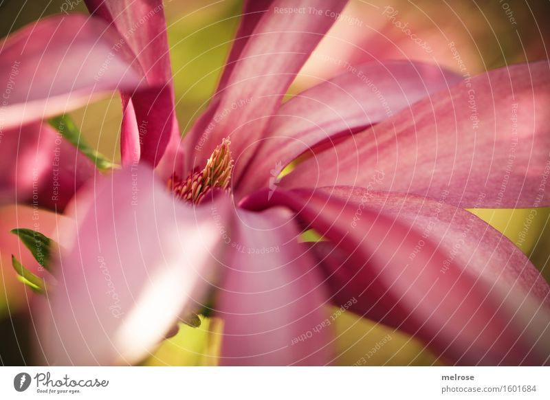 i seh rosa elegant Stil Valentinstag Geburtstag Natur Sonne Frühling Schönes Wetter Pflanze Blume Sträucher Blatt Blüte Wildpflanze Magnoliengewächse