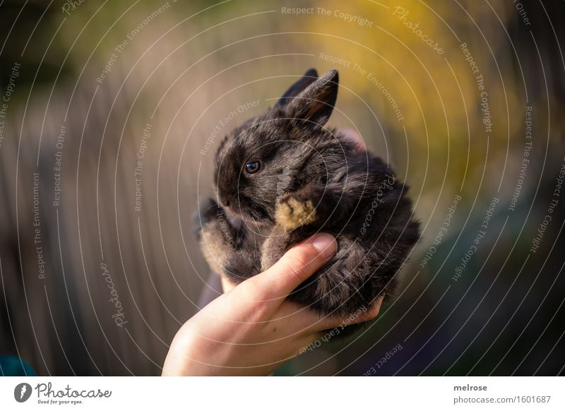 kleiner Racker Mädchen Hand Finger 1 Mensch 8-13 Jahre Kind Kindheit Haustier Fell Pfote Zwergkaninchen Hasenbaby Nagetiere Säugetier Tiergesicht Tierjunges