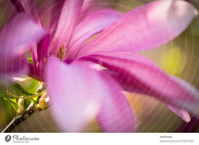 rosa Magnolie Natur Pflanze grün schön Blume Blatt Blüte Frühling Stil außergewöhnlich träumen Park glänzend elegant leuchten