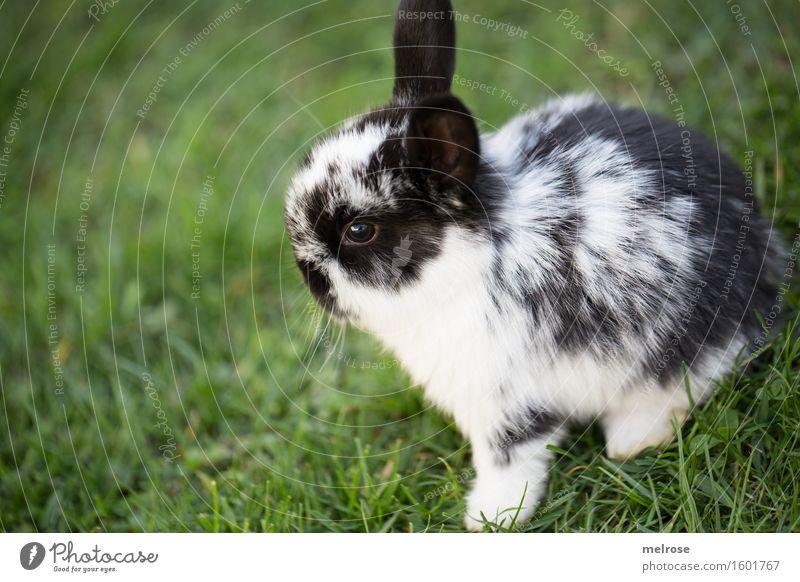 herziger Quereinsteiger Haustier Tiergesicht Fell Pfote Hasenbaby Zwergkaninchen Nagetiere Säugetier Hasenlöffel 1 Tierjunges Erholung Freundlichkeit Glück