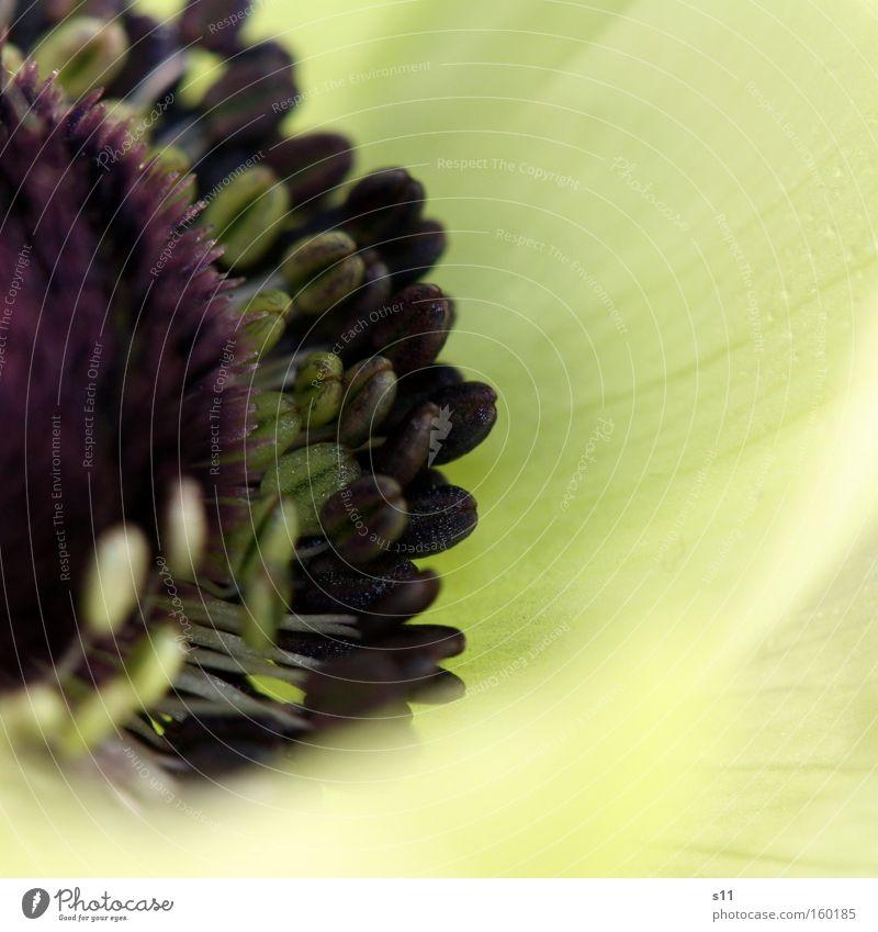 White Anemone schön weiß Blume Blüte Frühling elegant violett edel Schüchternheit purpur Anemonen