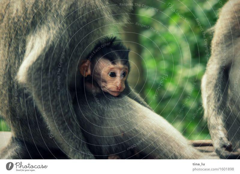 Monkey in Monkey Forest grün Tier Gesicht Tierjunges Liebe grau braun Wildtier Baby Tiergruppe Asien Geborgenheit Affen Bali Indonesien Tierfamilie