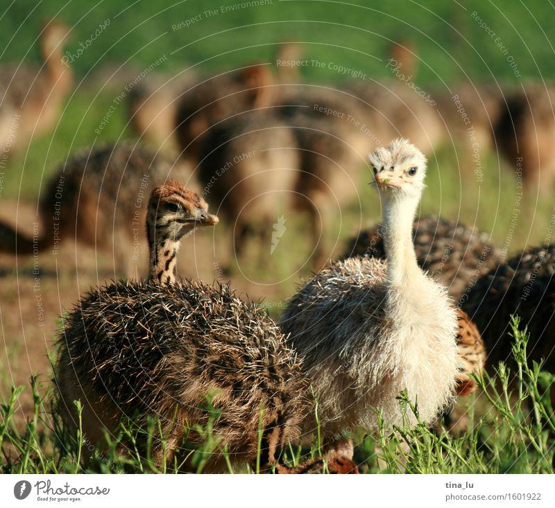 Strauße Tier Vogel Großgrundbesitz Tierzucht Tiergruppe Lebensfreude Südafrika Oudtshoorn Farbfoto Schwache Tiefenschärfe Tierporträt