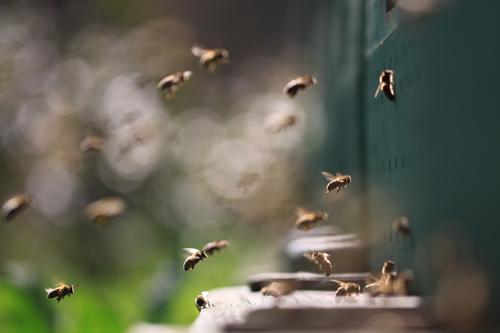 sie stürmen Lebensmittel Ernährung Gesundheit harmonisch Zufriedenheit Freizeit & Hobby Umwelt Natur Tier Luftverkehr Fluggerät Nutztier Biene Flügel Schwarm