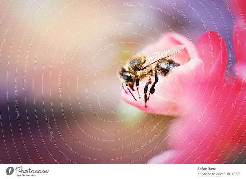 Busy bee schön Tier Blüte natürlich fliegen rosa Arbeit & Erwerbstätigkeit Wildtier violett Biene nachhaltig anstrengen krabbeln Ausdauer Pollen Frühlingsgefühle