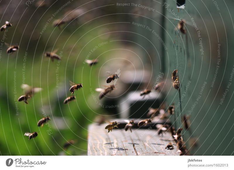 Wann wird's mal wieder richtig Sommer? schön Umwelt Lebensmittel fliegen Landwirtschaft Team Insekt trendy Biene Teamwork Landen Schwarm Pollen Tierzucht Honig