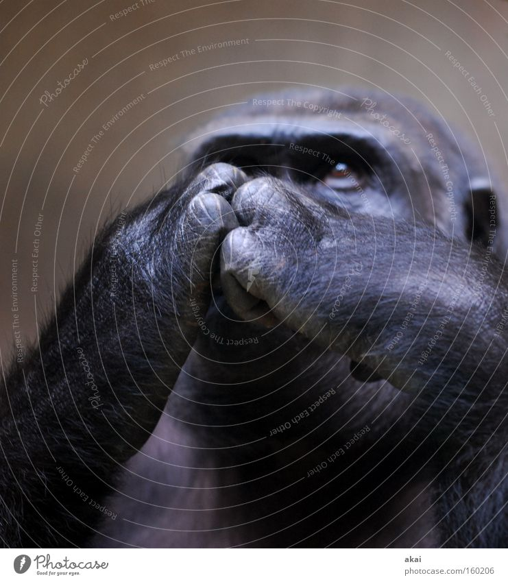 Gorilla Ernährung Tier Leben nachdenklich Säugetier Aktien Sorge Affen Börse Futter Gehege kümmern Basel Finanzkrise Gorilla Menschenaffen