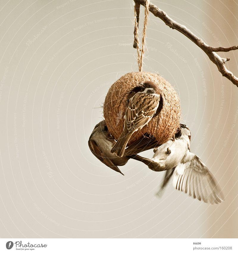 Geflügel Tier Wildtier Vogel 3 Tiergruppe fliegen füttern braun Spatz Feder sanft Gezwitscher überwintern Futter Vogelfutter Futterhäuschen Garten Kokosnuss
