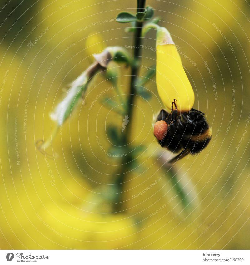 hang on honey Hummel Honig Tier Insekt Blume Blüte Jahreszeiten Imker Pflanze Natur Nektar Frühling Sommer Ernährung