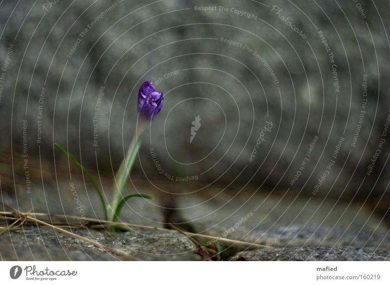 Survival of the Fittest Blume Krokusse Stein Granit Überleben erobern widersetzen Barriere Frühling Kraft Spalte