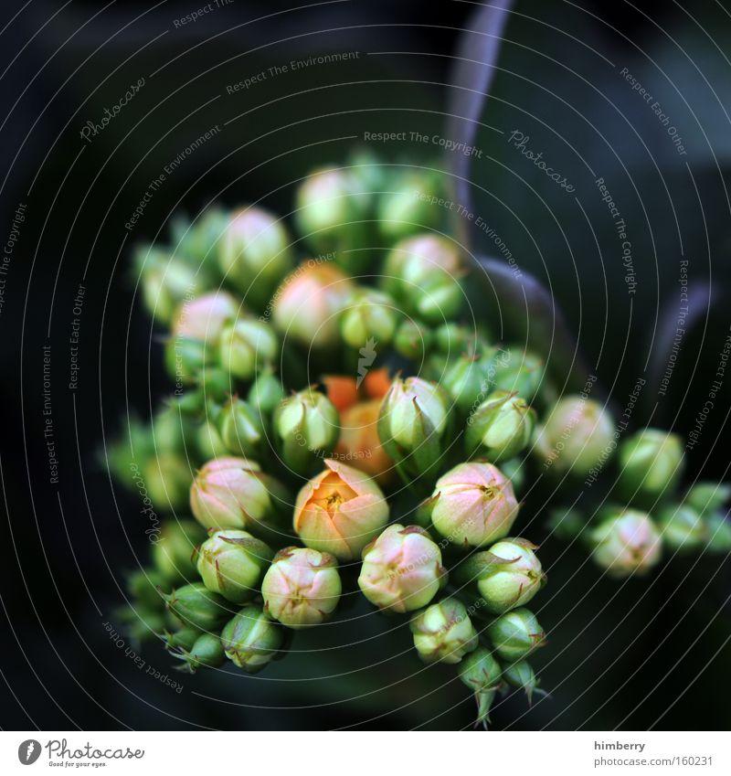 outcoming soon Blume Natur Frühling frisch Gartenbau Pflanze Botanik Hintergrundbild Floristik Blüte Zimmerpflanze Dekoration & Verzierung kalanchoe