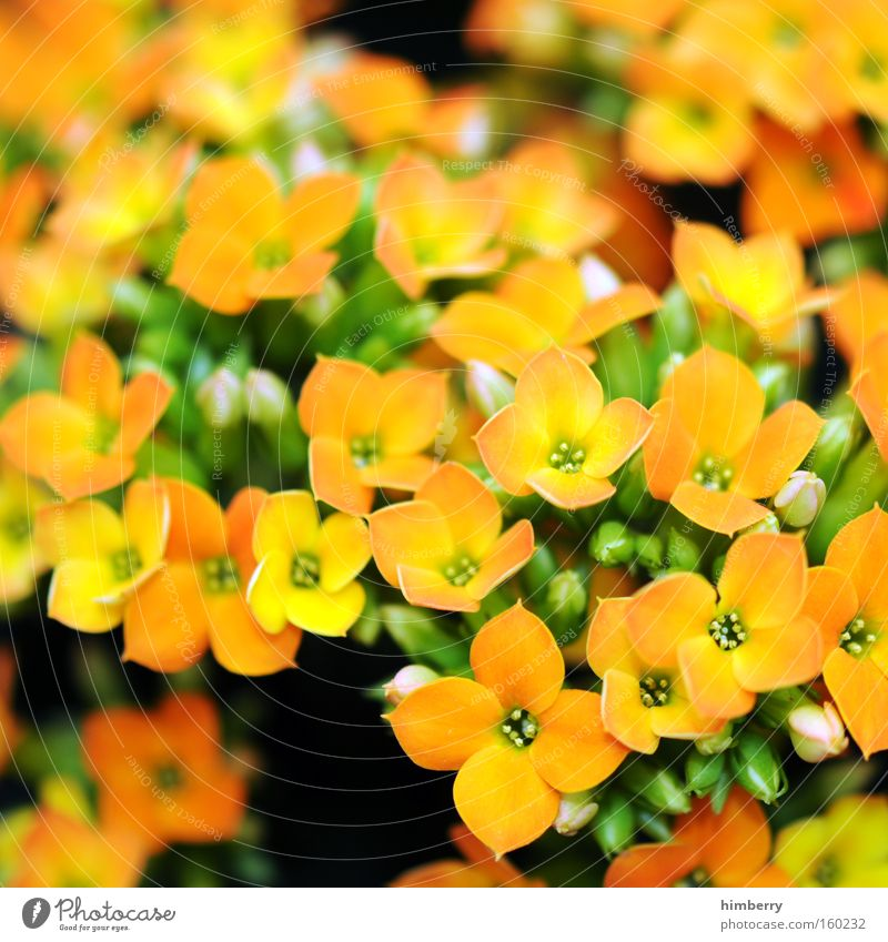 time of our lives Blume Natur Frühling frisch Gartenbau Pflanze Botanik Hintergrundbild Floristik Blüte Zimmerpflanze kalanchoe