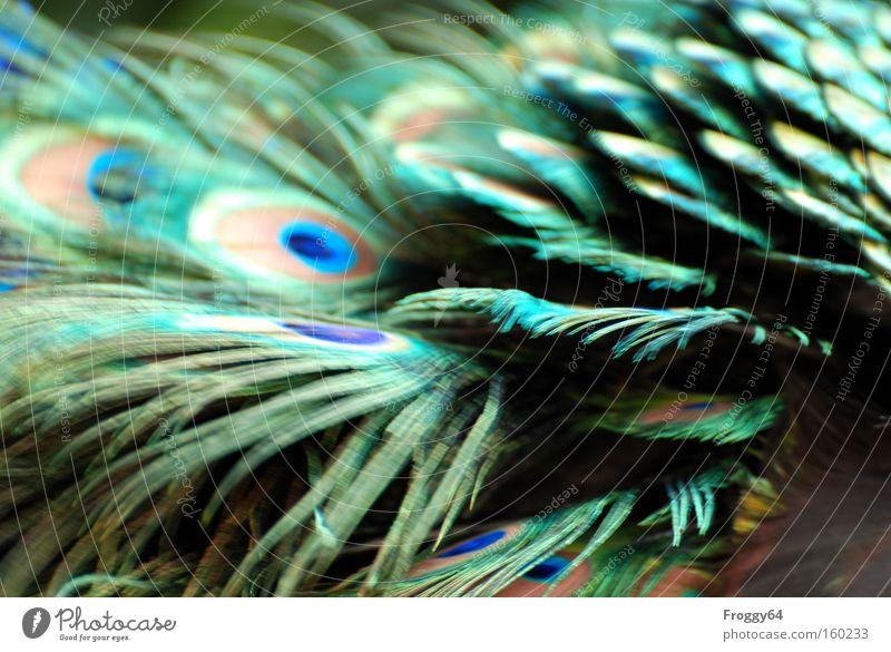 Gefieder blau Frühling Kopf Vogel Rücken weich Feder Flügel zart Indien Hals Pfau