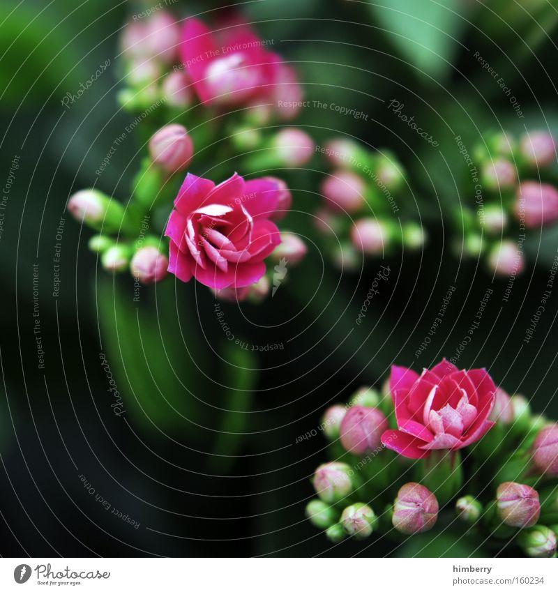pink party Blume Natur Frühling frisch Gartenbau Pflanze Botanik Hintergrundbild Floristik Blüte Zimmerpflanze Makroaufnahme Nahaufnahme kalanchoe