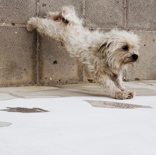 Bauch-Beine-Po. Hund niedlich Turnen lustig Tier Fitness Haustier strecken Bewegung Fell Yorkshire-Terrier Säugetier Haushund drollig allerliebst sportlich