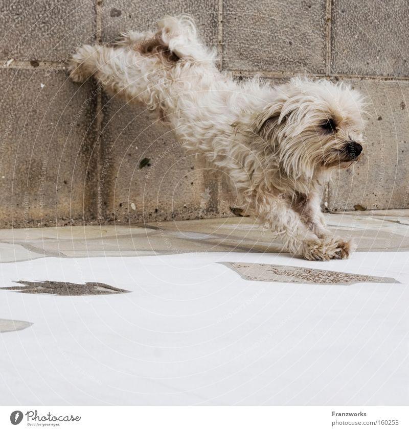 Bauch-Beine-Po. Hund Tier Bewegung lustig niedlich Körperhaltung Fell Fitness Terrier sportlich Säugetier Haustier Turnen strecken Sport ausgestreckt