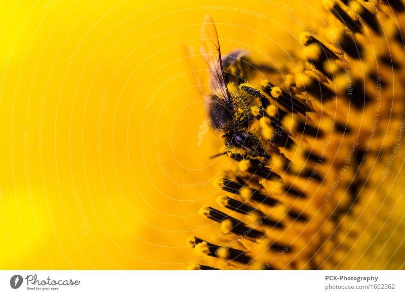 Biene und Blütenstaub Natur Pflanze Sommer Blume schwarz gelb Frühling Arbeit & Erwerbstätigkeit gold Flügel Sonnenblume Pollen Nutzpflanze ansammeln fleißig
