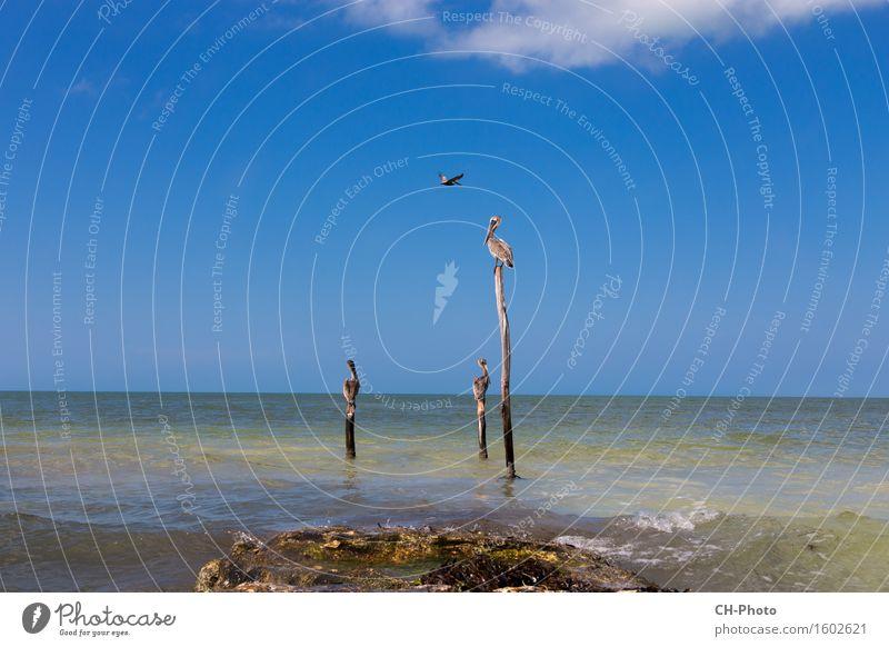 Mexico Isla Mujeres Erholung Ferien & Urlaub & Reisen Sommer Strand Natur Sand Küste Schwimmen & Baden tauchen träumen Pelican Sea beautiful bird birds blue