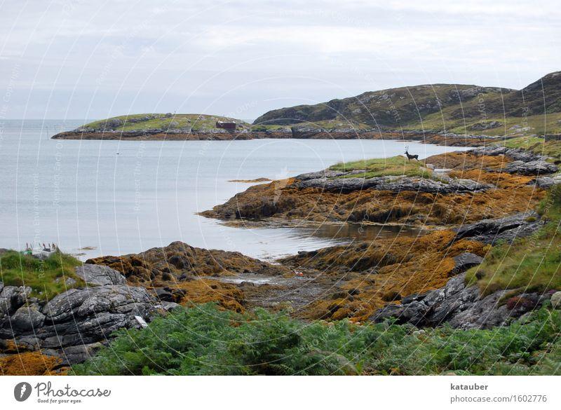 der hirsch ist doch fake Landschaft schlechtes Wetter Hügel Felsen Küste Hirsche trist Schottland Hebriden Ebbe Fälschung Täuschung Algen eriskay abrupt Bucht