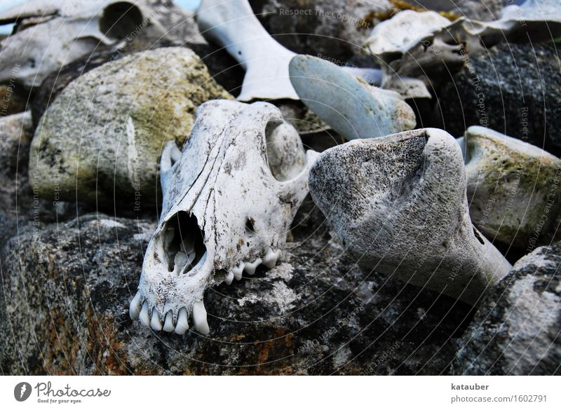 schafskrimi dunkel Traurigkeit Mauer Tod Beine grau Stein Felsen Angst ästhetisch Trauer Zähne Ende gruselig Schaf Skelett