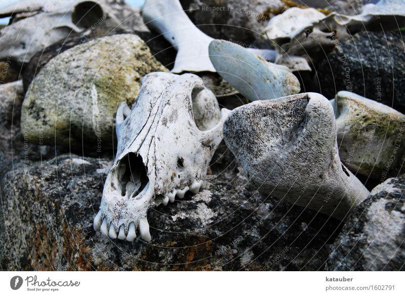 schafskrimi Felsen Mauer Stein Totes Tier Schaf Schädel Skelett Beine ästhetisch dunkel gruselig grau Trauer Tod Angst Ende Traurigkeit horror Zähne gebiss