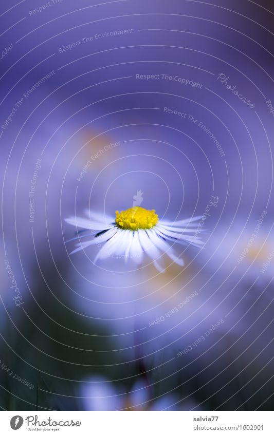 Bellissimo Gesundheitswesen Alternativmedizin Leben Wohlgefühl ruhig Duft Pflanze Frühling Sommer Blume Blüte Gänseblümchen Garten Wiese Blühend gelb weiß Glück