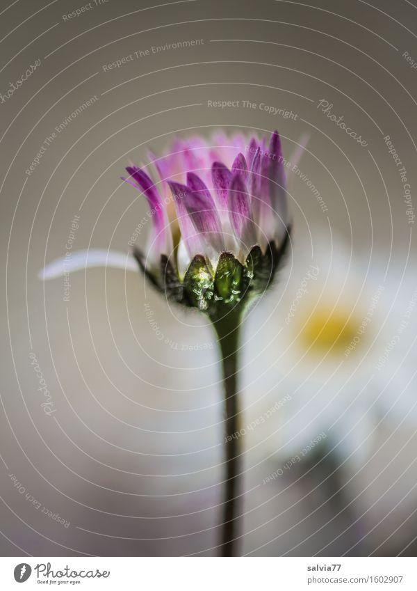 Solist Natur Pflanze Frühling Sommer Blume Blüte Gänseblümchen Wiese Blühend ästhetisch dünn klein schön grau rosa weiß Duft einzigartig Glück Hilfsbereitschaft