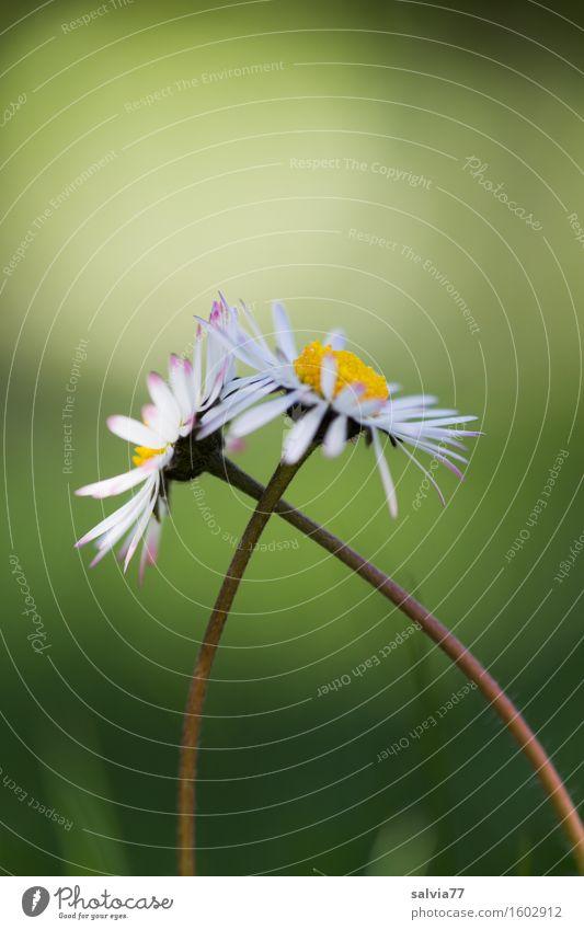 Zuneigung Alternativmedizin Wellness harmonisch Wohlgefühl Zufriedenheit Sinnesorgane Valentinstag Muttertag Frühling Sommer Blume Blüte Gänseblümchen Wiese