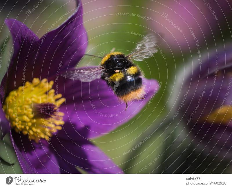 Frühlingsgefühle Natur Pflanze Tier Schönes Wetter Blume Blüte Wildpflanze Kuhschelle Garten Wildtier Flügel Hummel Insekt 1 wählen Duft fliegen weich gelb grün