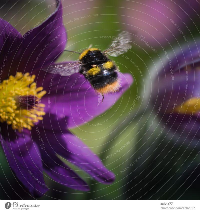 Brummer im Anflug Umwelt Natur Pflanze Tier Frühling Blume Blüte Wildpflanze Kuhschelle Garten Flügel Hummel Insekt Blühend Duft fliegen gelb grün violett Glück